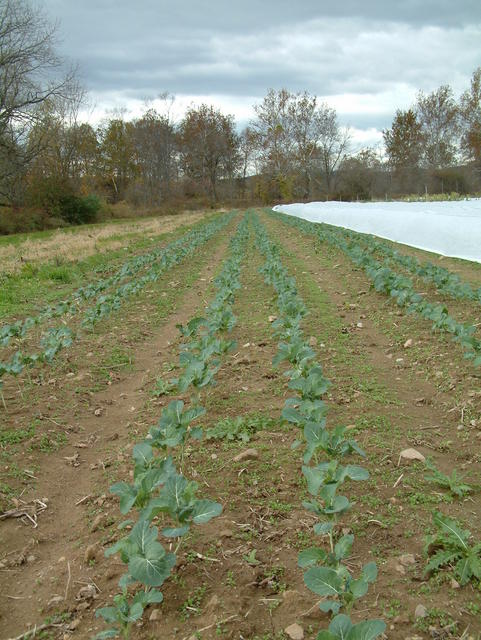 Broccoli awaiting cultivation and covereing
