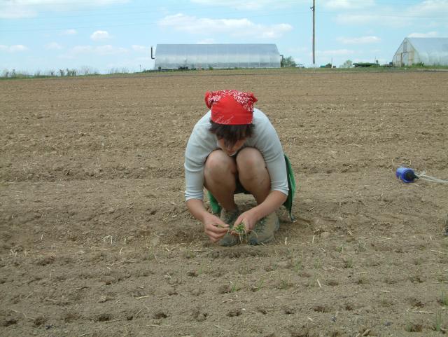 Dasha planting leeks