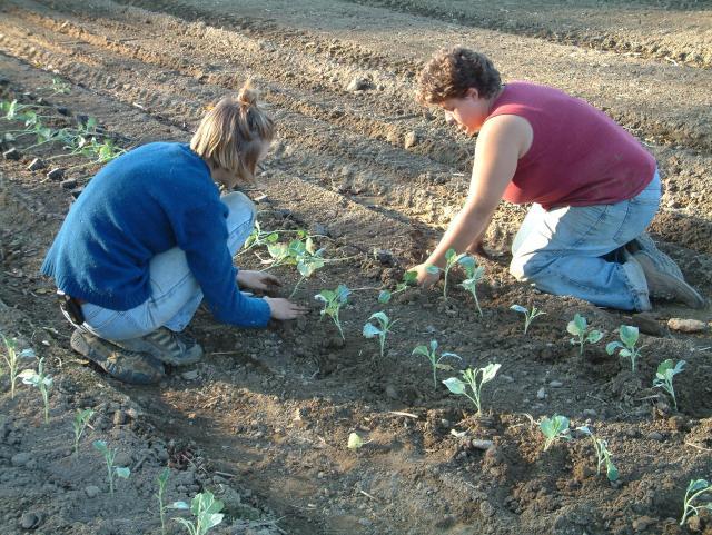 Laura & Nora transplanting Broccoli