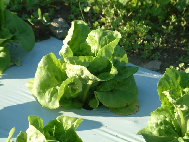 immature Nancy Lettuce growing on white plastic mulch