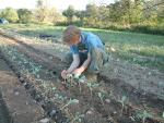 Ned transplanting Broccoli