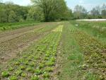 the lettuce field