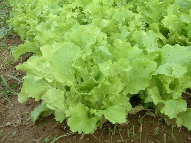 Lettuce, Black Seeded Simpson