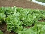 Lettuce, Ermosa