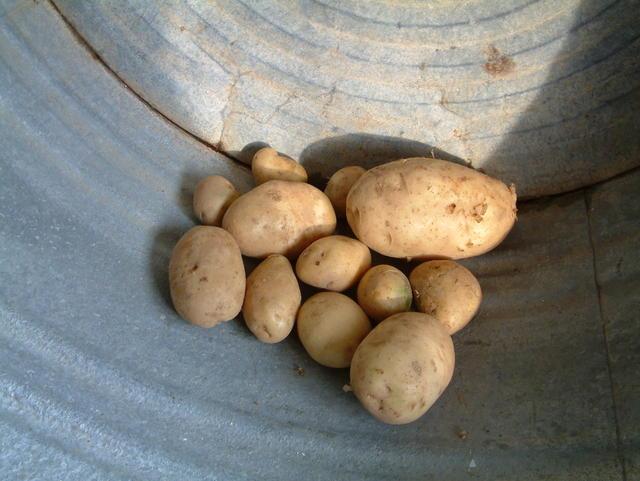 Выращивание элитного картофеля 18