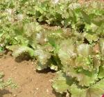 Lettuce, Magenta