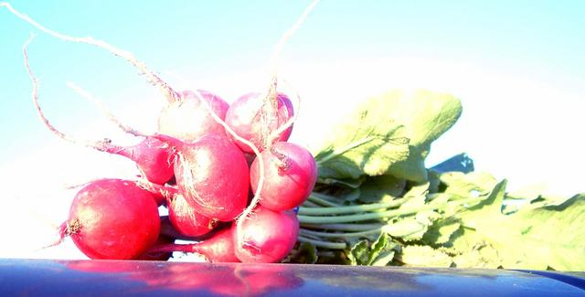 Radish, German Giant