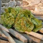 Lettuce, Speckled Bibb
