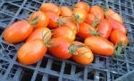 Tomato, Juliet